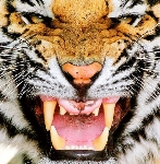 tiger fierce_face