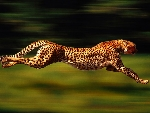 cheetah-pictures-113